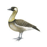Hawaiian Goose (Branta Sandvicensis)  Nene  Birds