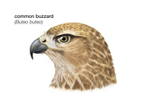 Head of Common Buzzard (Buteo Buteo)  Birds
