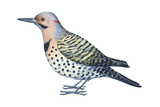 Yellow-Shafted Flicker (Colaptes Auratus)  Birds