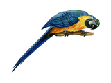 Blue-And-Yellow Macaw (Ara Araruna)  Birds