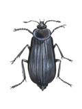 Carrion Beetle (Silpha Ramosa)  Insects