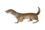 Common or Least Weasel (Mustela Nivalis)  Mammals