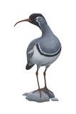 Ibisbill (Ibidorhyncha Struthersii)  Birds