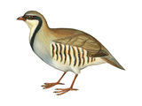 Chukar  Partridge (Alectoris Chukar)  Birds