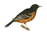 Orchard Oriole (Icterus Spurius)  Birds