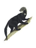 Tayra (Eira Barbara)  Mammals