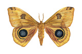 Io Moth (Automeris Io)  Insects