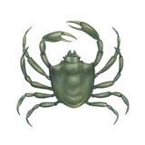 Kelp Crab (Pugettia Producta)  Crustaceans