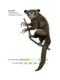 Aye-Aye (Daubentonia Madagascariensis)  Primate  Mammals