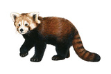 Lesser Panda (Aelurus Fulgens)  Mammals