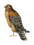 Red-Shouldered Hawk (Buteo Lineatus)  Birds