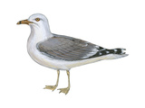 Ring-Billed Gull (Larus Delawarensis)  Birds