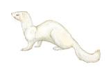 Ferret (Mustela Furo)  Mammals