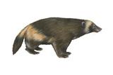 Wolverine (Gulo Gulo)  Weasel  Mammals
