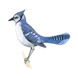 Blue Jay (Cyanocitta Cristata)  Birds