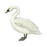 Trumpeter Swan (Cygnus Cygnus Buccinator)  Birds