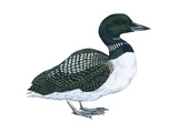 Common Loon (Gavia Immer)  Birds