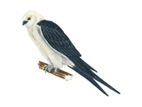 Swallow-Tailed Kite (Elanoides Forficatus)  Birds