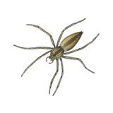 Nursery Web Spider (Pisaurina Mira)  Arachnids