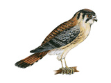 American Kestrel (Falco Sparverius)  Sparrow Hawk  Bird