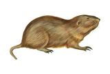 Plains Pocket Gopher (Geomys Bursarius)  Mammals