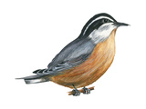 Red-Breasted Nuthatch (Sitta Canadensis)  Birds