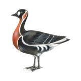 Red-Breasted Goose (Branta Ruficollis)  Birds