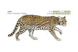 Ocelot (Felis or Lepardus  Pardalis)  Cat  Mammals