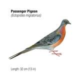 Passenger Pigeon (Ectopistes Migratorius)  Birds