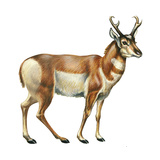 Pronghorn (Antilocapra Americana)  Mammals