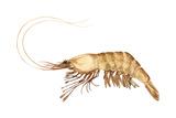 Pink-Grooved Shrimp (Peneus Duorarum)  Crustaceans