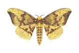 Imperial Moth (Eacles Imperialis)  Insects
