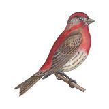 House Finch (Carpodacus Mexicanus)  Birds