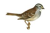 White-Throated Sparrow (Zonotrichia Albicollis)  Birds