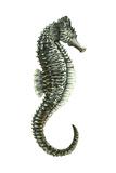 Sea Horse (Hippocampus Hudsonius)  Fishes