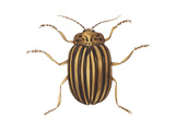 Colorado Potato Beetle (Leptinotarsa Decemlineata)  Insects