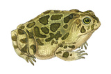 Great Plains Toad (Bufo Cognatus)  Amphibians