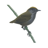 Wrenthrush (Zeledonia Coronata)  Birds