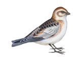 Snow Bunting (Plectophenax Nivalis)  Birds