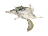 New World Flying Squirrel (Glaucomys)  Mammals