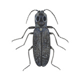 Click Beetle (Alaus Oculatus)  Insects