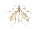 Crane Fly (Tipula Trivittata)  Insects