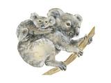 Koala (Phascolarctos Cinereus)  Marsupial  Mammals