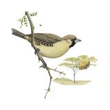 Social Weaver (Philetairus Socius)  Birds