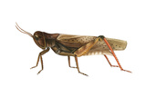 Red-Legged Grasshopper (Melanoplus Femur-Rubrum)  Insects