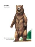 Brown Bear (Ursus Arctos)  Mammals