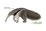 Giant Anteater (Myrmecophaga Tridactyla)  Mammals