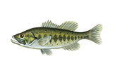 Largemouth Black Bass (Micropterus Salmoides)  Fishes