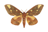 Regal Moth (Citheronia Regalis)  Insects
