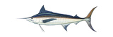 Marlin (Makaira Nigricans)  Blue Marlin  Fishes